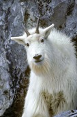 Mountain Goat, Oreamnos americanus,  poised on cliff edge, Gloomy Knob, Glacier Bay National Park, Alaska AGPix_0004