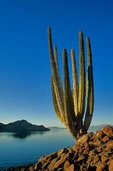 Cardon Cactus on shore of the Sea of Cortez, Guardian Angel Island, Baja California, Mexico, AGPix_0005