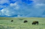 Bison herd on prairie at Wind Cave National Park, Black Hills of South Dakota, AGPix_0012
