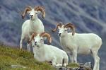 Dall Sheep Rams, Ovis dalli, on Mount Wright in the Alaska Range, Denali National Park, Alaska, AGPix_0031