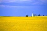 Country church, Keene First Lutheran Church, amid field of blooming canola, near Keene, North Dakota, AGPix_0065