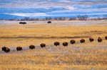Bison Herd on snowy prairie, Cannonball River Valley, Grant County, North Dakota, AGPix_0070