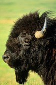 Bull bison face, at Theodore Roosevelt National Park, North Unit, North Dakota, AGPix_0071