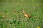 Long-billed Curlew, Numenius americanus, on prairie at Rita Blanca National Grassland, north of Dalhart, Texas, AGPix_0075