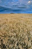 Field of wheat ready for harvest, near Casselton, North Dakota, AGPix_0076