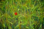 Poppy flower in grain field, May in the Gaillac Region, Tarn District of southwestern France, AGPix_0120
