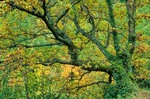 Oak Tree, Quercus petraea, in the mountains of the Sierra Ancares near Degrada, Galicia, Spain, AGPix_0125