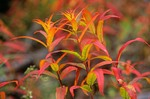 Giant Fireweed in autumn color at Kennecott in Wrangell-St. Elias National Park, Alaska, AGPix_0126