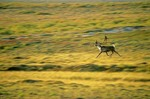 Bull caribou runs across tundra in Barrengrounds near Whitefish Lake, Northwest Territories, Canada, AGPix_0131