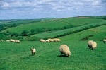 Sheep grazing in pastures in English coutryside near Bude, Cornwall, England, AGPix_0133