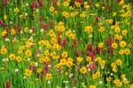 Alpine wildflowers in meadow at Yankee Boy Basin, near Ouray, Colorado, AGPix_0186