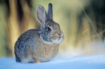 Cottontail Rabbit in the snow, winter near Flagstaff, Arizona, AGPix_0187