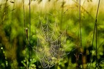 Orb weaver spider web covered with morning dew at Sheyenne National Grassland east of Lisbon, North Dakota, AGPix_0188