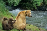 Brown bears, mother with young cubs at Brooks Falls on Brooks River, Katmai National Park, Alaska, AGPix_0189