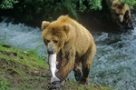 Brown bear with salmon it caught at Brooks Falls on Brooks River, Katmai National Park, Alaska, AGPix_0190