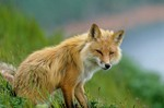 Red fox sitting on hillside at Round Island, Walrus Islands State Game Sanctuary, Alaska, AGPix_0192    