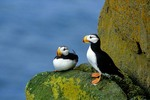 Horned Puffins on rocky ledge at Round Island, Walrus Islands State Game Sanctuary, Alaska, AGPix_0193