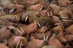 Male walruses basking on Round Island, Walrus Islands State Game Sanctuary, Alaska, AGPix_0194