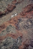 Dall sheep on volcanic rocks pm Mount Drum, Sanford River Valley, Wrangell-St. Elias National Park, Alaska, AGPix_0209