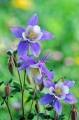 Blue columbine in the San Juan Moutains in Yankee Boy Basin, Uncompahgre National Forest, Ouray, Colorado, AGPix_0223