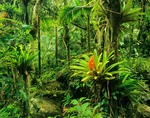 El Yunque Rainforest, bromeliads flowering in forest, Caribbean National Forest, Puerto Rico, AGPix_0230