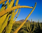 Arms of an organ pipe cactus along Ajo Mountain Drive at Organ Pipe Cactus National Monument, Arizona, AGPix_0234    