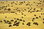 Bison herd covers prairie on Triple 7 Ranch near Fairburn, South Dakota, AGPix_0256