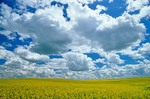 Field of canola with golden flowers under sky of cumulus clouds, Mountrail County, North Dakota, AGPix_0257