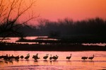 Sandhill cranes at sunrise on the Platte River, Rowe Sanctuary, near Kearney, Nebraska, AGPix_0258
