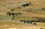 Cattle roundup on South Dakota ranch, Pine Ridge Indian Reservation, South Dakota, AGPix_0269