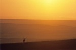 Bull elk on prairie ridge at sunrise with Great Plains in background, Wind Cave National Park, South Dakota, AGPix_0276