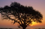 Live oak at sunrise with San Antonio Bay in background, Aransas National Wildlife Refuge, Texas, AGPix_0282