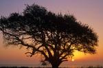 Live oak at sunrise with San Antonio Bay in background, Aransas National Wildlife Refuge, Texas, AGPix_0282