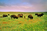 Bison herd and prairie wildflowers at Big Basin Prairie Preserve, near Ashland, Kansas, AGPix_0302