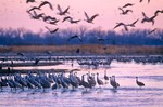 Sandhill Cranes in Platte River at sunrise, Rowe Sanctuary near Kearney, Nebraska, AGPix_0339