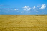 Vast wheat field on the Great Plains in Williams County, North Dakota, AGPix_0352