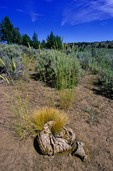 Grass grows, fertilized by cow manure  on, High Desert Ranch, near Brothers, Oregon, AGPix_0364