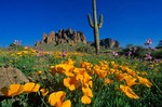 Poppies bloom in desert in Superstiton Wilderness Area, Tonto National Forest, east of Phoenix, Arizona, AGPix_0368