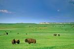 Bison herd on green prairie on the 777 Ranch, near Fairburn, South Dakota, AGPix_0387