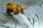 Alaska Brown Bear fishing for salmon at Brooks Falls on the Brooks River in Katmai National Park, Alaska, AGPix_0405