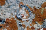Fossil brachiopod and lichens in Kaibab Limestone, at North Rim, Grand Canyon National Park, Arizona, AGPix_0433    