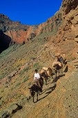 Packer with string on mules on South Kaibab Trail below South Rim, Grand Canyon National Park, Arizona, AGPix_0446