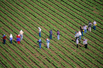 Laborers work in lettuce field, near Hollister, California, AGPix_0467