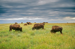 Bison herd grazing on prairie at Theodore Roosevelt National Park, North Unit, North Dakota, AGPix_0469
