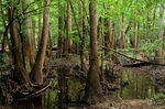 Congaree Swamp, an old-growth bottomland hardwood forest at Congaree National Park, South Carolina, AGPix_0473