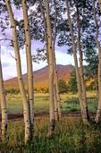 Autumn aspens and San Francisco Peaks at Hart Prairie in Coconino National Forest, Arizona, AGPix_0481
