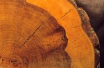 Tree rings on old ponderosa pine tree in Grand Canyon National Park, Arizona, AGPix_0482