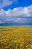 Wildflowers bloom on the Carrizo Plain at Carrizo Plain National Monument, west of Bakerfield, California, AGPix_0487
