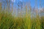 Big Bluestem grass in tallgrass prairie at Neal Smith National Wildlife Refuge, near Prairie City, Iowa, AGPix_0498