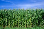 Iowa cornfield on a summer's day, Calhoun County, Iowa, AGPix_0499